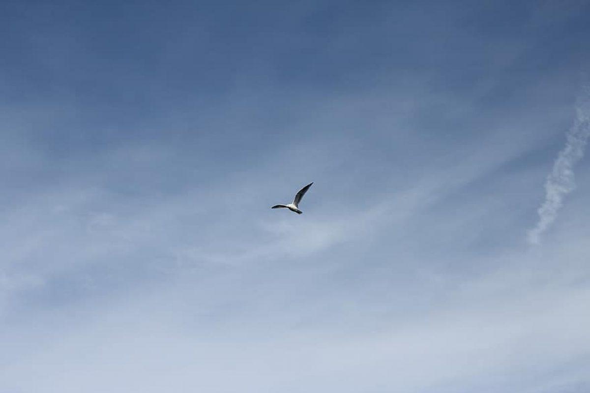 seagull-bird-flying-animal-wildlife-nature-gull-white-sky